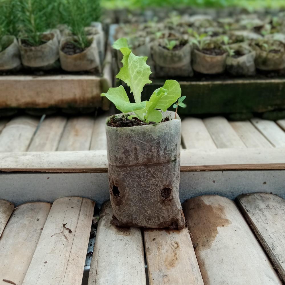 Seedling - Green Lettuce