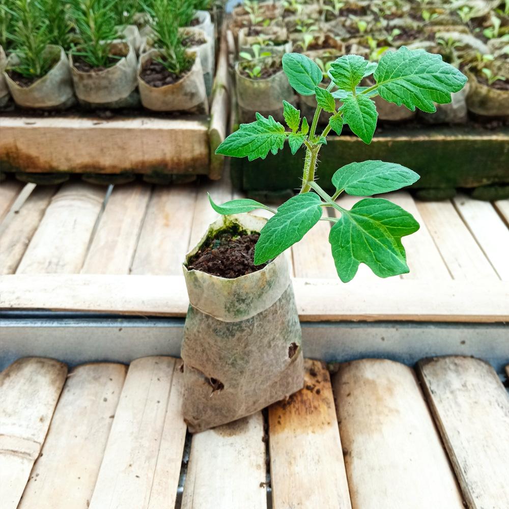 Seedling - Cherry Tomato