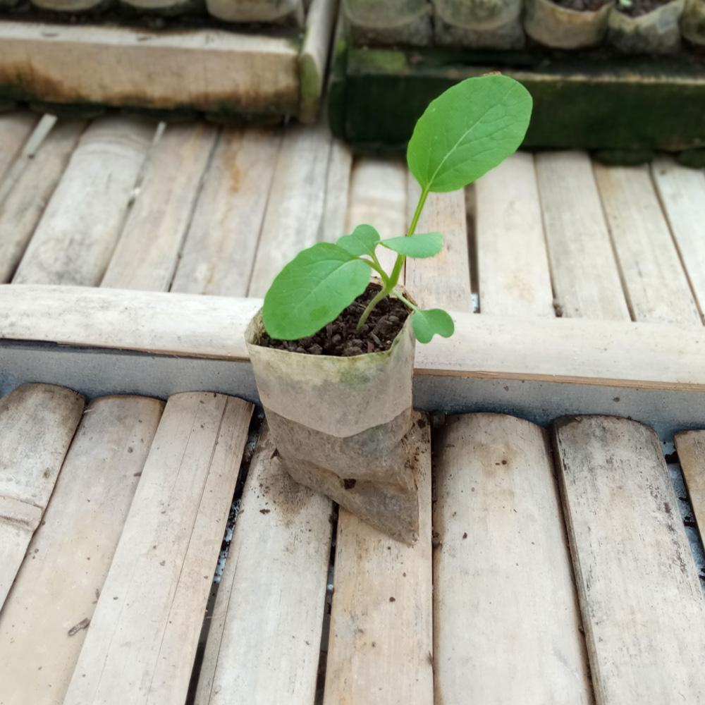 Seedling - Choy Sum
